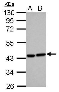 HMOX2 Antibody (PA5-28334) in Western Blot