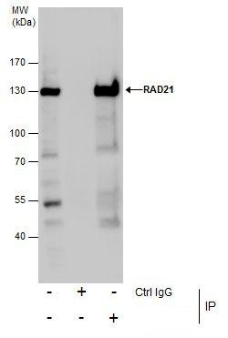 RAD21 Antibody (PA5-28344) in Immunoprecipitation