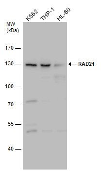 RAD21 Antibody (PA5-28344) in Western Blot