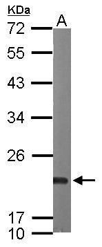 Sorcin Antibody (PA5-28359) in Western Blot
