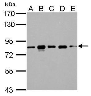 CD2AP Antibody (PA5-28391) in Western Blot