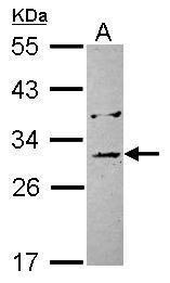 EB1 Antibody (PA5-28395)