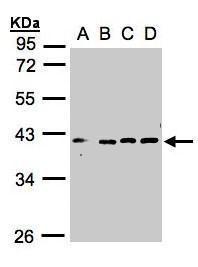 VPS26A Antibody (PA5-28404) in Western Blot