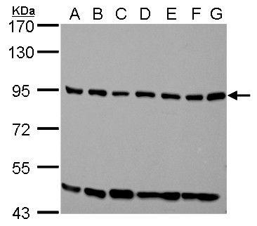 ELMO1 Antibody (PA5-28406) in Western Blot