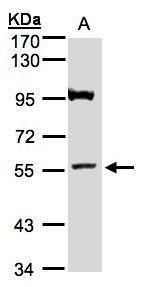 ADAMTSL1 Antibody (PA5-28408) in Western Blot