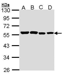 TRF1 Antibody (PA5-28423)