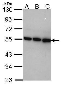TRIP15 Antibody (PA5-28430) in Western Blot