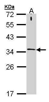 STX1A Antibody (PA5-28431)