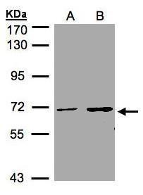 CDYL Antibody (PA5-28433)