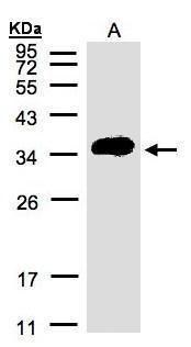 ATP6IP2 Antibody (PA5-28440) in Western Blot