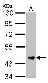 FSTL1 Antibody (PA5-28451) in Western Blot
