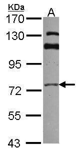 GGA3 Antibody (PA5-28462) in Western Blot