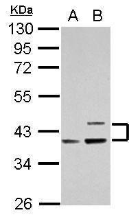 Apolipoprotein L1 Antibody (PA5-28467) in Western Blot