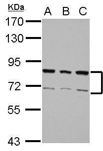 hnRNP R Antibody (PA5-28473) in Western Blot