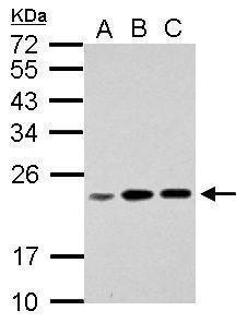 RPL17P7 Antibody (PA5-28475) in Western Blot
