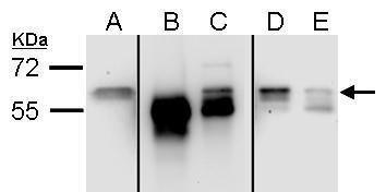 Staufen Antibody (PA5-28479) in Western Blot