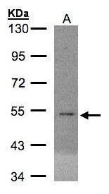 eIF5 Antibody (PA5-28488)