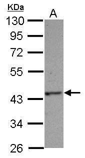 HAUS4 Antibody (PA5-28494) in Western Blot