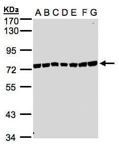 KIAA1530 Antibody (PA5-28497) in Western Blot