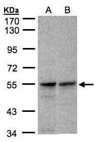 FOXRED1 Antibody (PA5-28507) in Western Blot