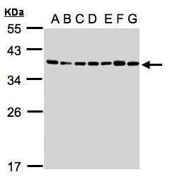 U2AF1 Antibody (PA5-28510) in Western Blot