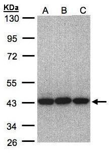 eIF3h Antibody (PA5-28516)