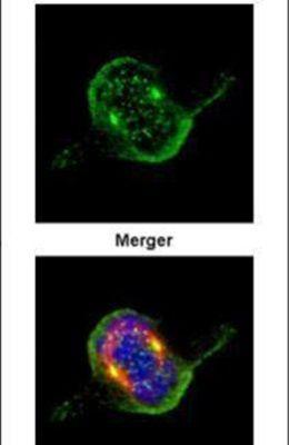 ZWINT Antibody (PA5-28538) in Immunofluorescence