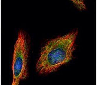 HENMT1 Antibody (PA5-28543) in Immunofluorescence
