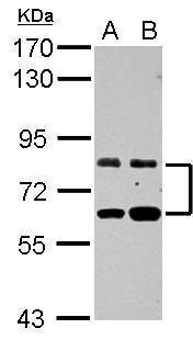ZFP64 Antibody (PA5-28546) in Western Blot