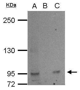 L3MBTL2 Antibody (PA5-28549) in Immunoprecipitation