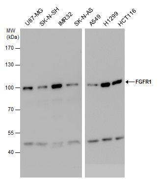 FGFR1 Antibody (PA5-28564)