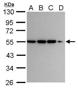 CaMKI gamma Antibody (PA5-28580) in Western Blot