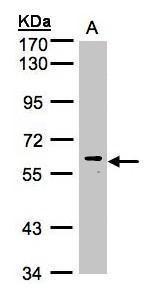 MAPK15 Antibody (PA5-28587) in Western Blot