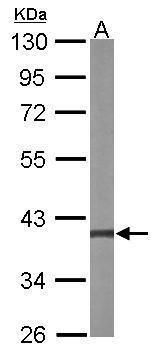 MEK3 Antibody (PA5-28590) in Western Blot