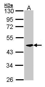CKMT2 Antibody (PA5-28591) in Western Blot
