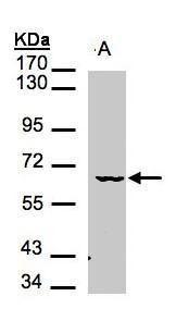 MAK Antibody (PA5-28593)