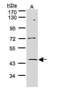 PFTK2 Antibody (PA5-28595) in Western Blot