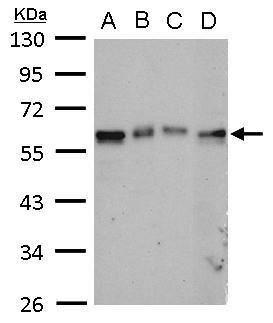 TAB1 Antibody (PA5-28600) in Western Blot