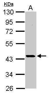 CK2 alpha Antibody (PA5-28602) in Western Blot