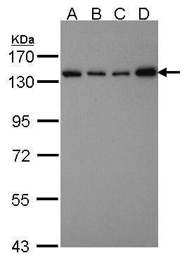 SART3 Antibody (PA5-28625) in Western Blot
