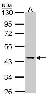 MVK Antibody (PA5-28650) in Western Blot
