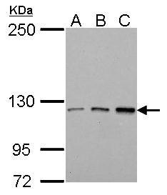TIE1 Antibody (PA5-28665) in Western Blot