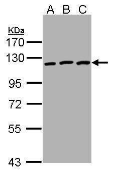 EphB3 Antibody (PA5-28680) in Western Blot