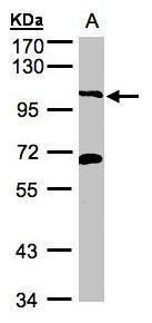 PI3KC3 Antibody (PA5-28684) in Western Blot