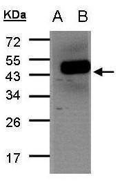 FENS1 Antibody (PA5-28718) in Western Blot