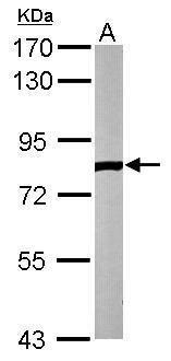 ELMO2 Antibody (PA5-28725) in Western Blot
