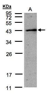 AMID Antibody (PA5-28727) in Western Blot