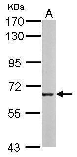 Melanophilin Antibody (PA5-28733) in Western Blot