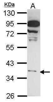 GPR81 Antibody (PA5-28734) in Western Blot