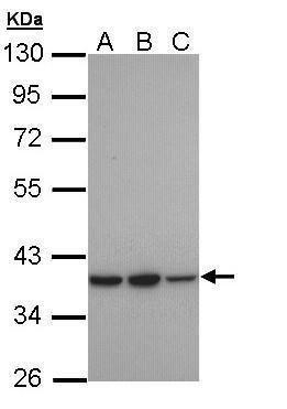 RAI3 Antibody (PA5-28738) in Western Blot